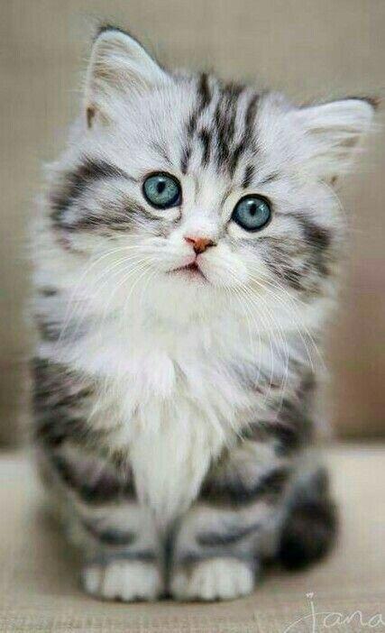 Diese Kleine Katze Ist Sehr Fotogen Cat Chat Gato Ador Ador Cat Chat Diese Fotogen Gato Ist Katze K Kitten Pictures Cute Cats Cats
