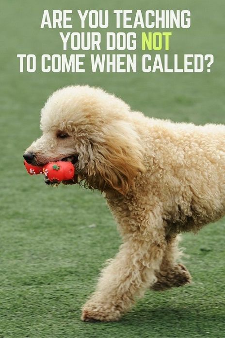 Are You Teaching Your Dog Not To Come When Called Dog Clicker
