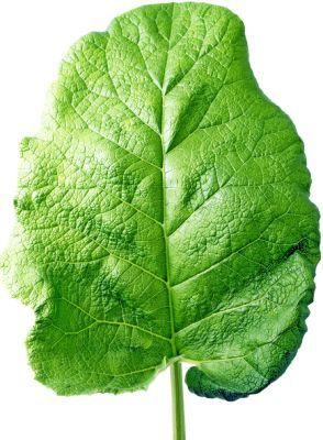 varicoză frunze ce să facă
