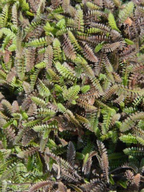 Leptinella potentillina / Feines Fiederpolster, 5-8 cm hoch, Trittfest, immergrün, sonnig bis halbschattig, trockene bis frische und sandig-kiesige Böden