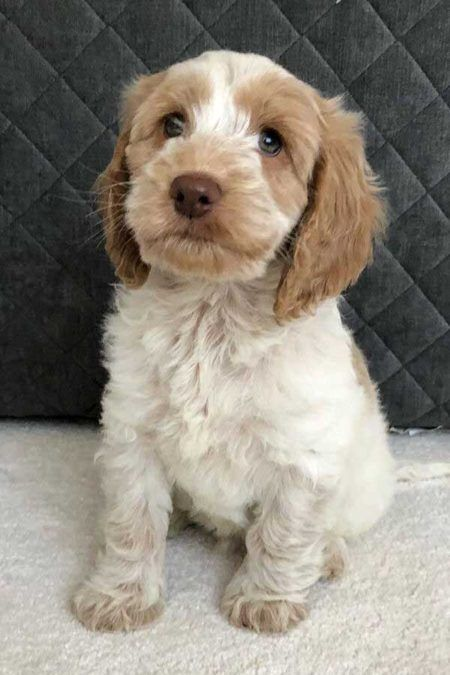Incredible Cockapoo Pictures Info About This Cool K 9 In 2020 Cockapoo Dog Cockapoo Puppies Cute Little Animals