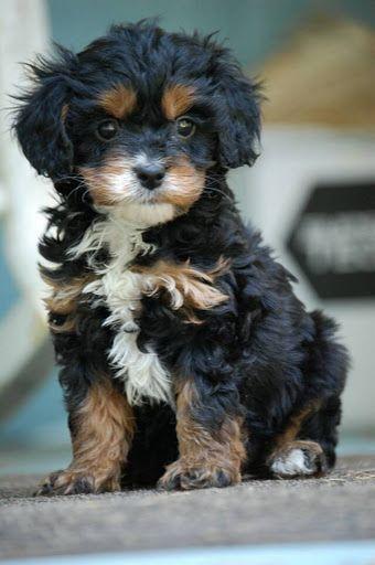 Poodle Cross Breeds Dog Breeds Poodle Cross Breeds Puppies