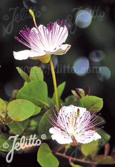 Capparis Spinosa Var Inermis Portion S Caper Berries Herbs White Flowers