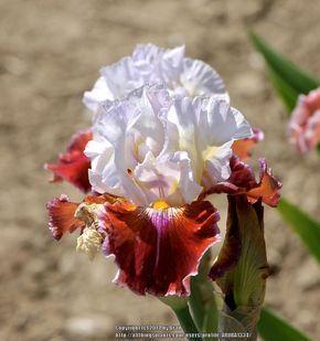 Tall Bearded Iris Iris Lady Leigh In The Irises Database Garden Org Iris Flowers Bearded Iris Iris Garden