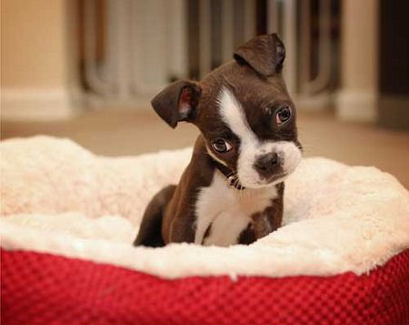 5 TOO Cute Boston Terrier Puppy Pictures on http://Involvery.com