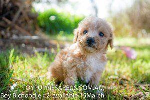 Pin On Puppy Labrador