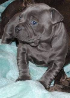 Pedigree Blue English Staffordshire Staffy Puppies Dogs Puppies Gumtree Australia Belmont Area Cloverdale 11 Dogs And Puppies Puppies Pitbull Puppies