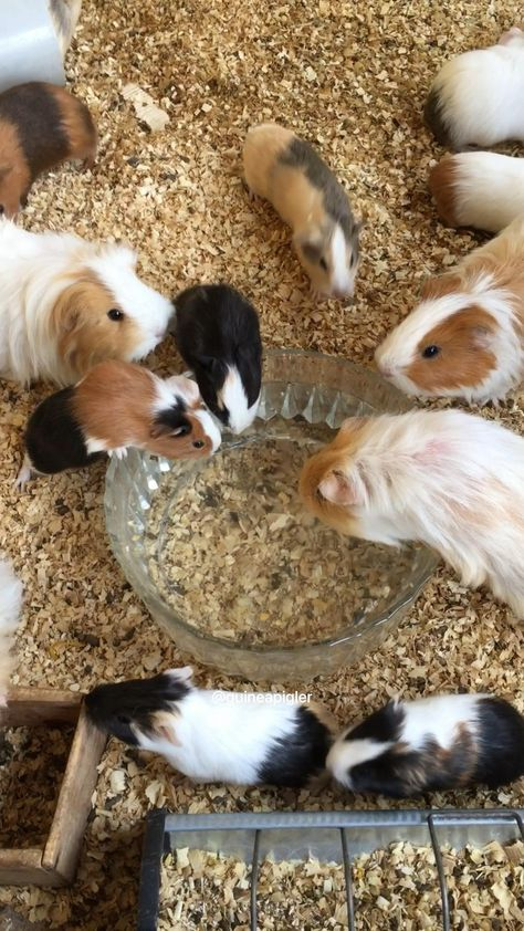 Guinea pigs drink water from bowl 🙂