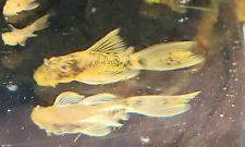 2 Long Fin Speckled Calico Ancistrus Bushynose 1 5 Inch Pleco Buy Breeder Direct Plecostomus Catfish Species