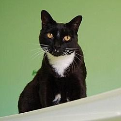 Available Pets At Nevada Spca In Las Vegas Nevada Pets Animals Cats