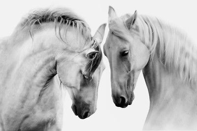 WHITE ANDALUSIAN HORSE ANIMAL WALL ART CANVAS PRINT PICTURE READY TO HANG
