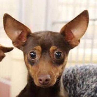 New York Ny Chihuahua Meet Justine Bateman A Pet For Adoption