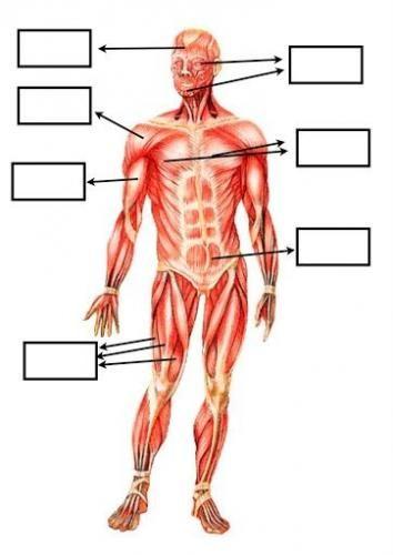 Completa Las Partes Del Sistema Muscular Musculos Del Cuerpo Humano Sistema Muscular Para Ninos Sistema Muscular