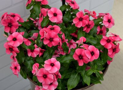 Vinca Tattoo Raspberry Vinca Cherry Plant Seed Company