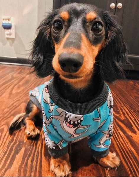 Dachshund Accessories For Dogs Dog Pajamas Dachshund Puppies
