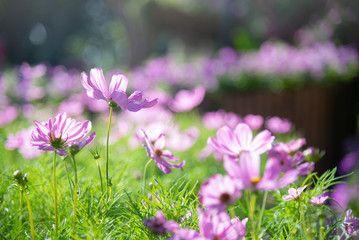 Violet Cosmos Flower Blooming In Spring Season Sweet Tone Affiliate Flower Blooming Violet Cosmos Sweet Ad In 2020 Cosmos Flowers Spring Season Bloom