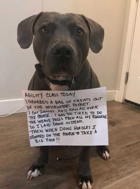 Dogs Funny Shaming Pictures With Great Dog Confessions Dog