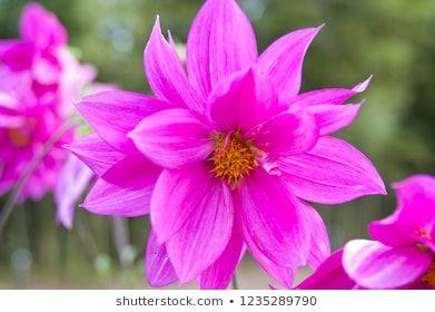 The Kind Of The Flower Is A Dahlia Scientific Name Is Dahlia Dahlia Flowers Stock Photos