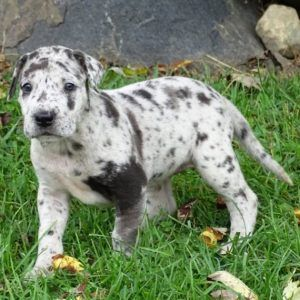 Great Danes And Dalmatian Puppies Great Danes And Dalmatian For