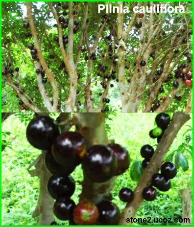 فاكهة بلينة الجذعية الازهار Plinia Cauliflora قسم الفواكه النبات معلومات نباتية وسمكية معلوماتية Grapes Fruit Olive
