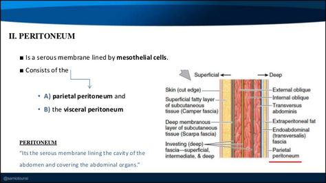 ■ Is a serous membrane lined by mesothelial cells. ■ Consists of the • A) parietal peritoneum and • B) the visceral perito...