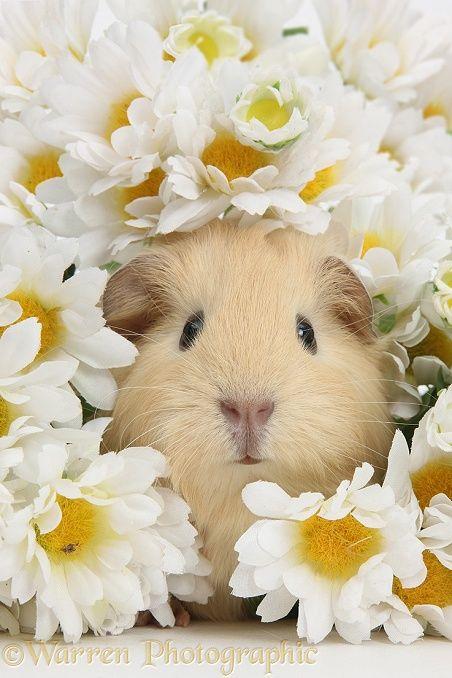 Cute baby yellow Guinea pig among daisy flowers photo