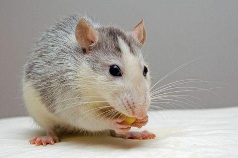 Mit Diesem Tierfreundlichen Trick Bist Du Mause Ein Fur Alle Mal Los Mit Bildern Hausratten Ratten Loswerden Farbratten