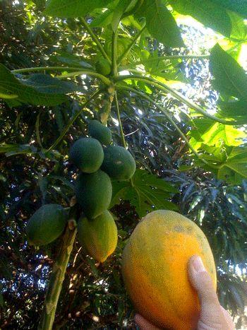 Palo De Corazon Fruta Puerto Rico Wwwbilderbestecom