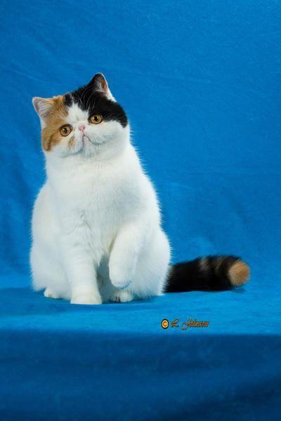 Pin On Exotic Short Hair Kittens Sandy B Cattery Boston Massachusetts