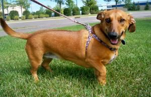 Sydney Is An Adoptable Dachshund Dog In St Paul Mn Our Next