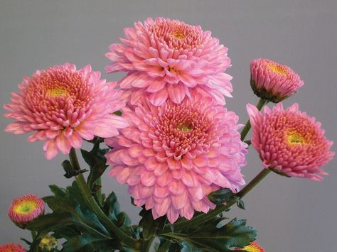 Image result for Chrysanthemums pinterest