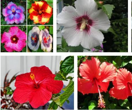 Seair Exim Solution Provide A Country Insightful Data Of Ukraine Hibiscus Flower Import Data Annually Report Is A Greatly An Hibiscus Flowers Flowers Hibiscus