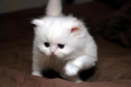 Teacup Munchkin Cats Stunning Snow White Teacup Persian Munchkinkittens Persian Kittens Munchkin Cat Kitten Adoption