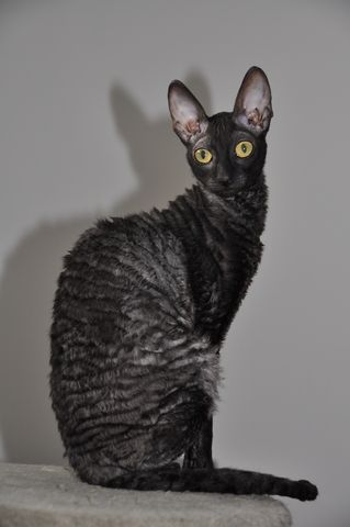 Cornish Rex. CH Wave Dancer KENYA of Rexcat Cattery, Quebec Canada