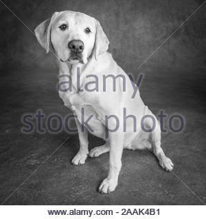 Golden Retriever Mix Sitzt In Wiese North Rhine Westphalia Mya 18178 Is An Adoptable Labrador Retri In 2020 Labrador Retriever Labrador Retriever Mix Dog Stock Images