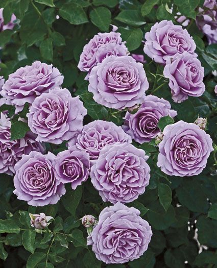 Love Song Floribunda Rose - an abundance of roses on this bush. This is a really beautiful rose.Just planted two.