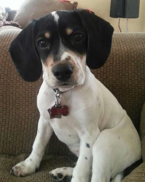 It S Roscoe Roscoe Is A 4 Month Old Beagle Spaniel Mix From