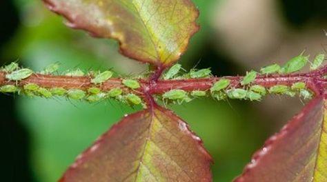 Vous cherchez un insecticide naturel sans danger pour les plantes de votre jardin ? Pour vous débarrasser des parasites les plus courants, comme par exemples les pucerons des rosiers, il existe une