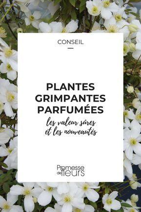 Plantes grimpantes parfumées, des valeurs sûres et des ...