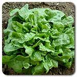 Organic Emerald Oak Lettuce
