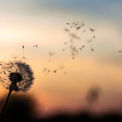 Dandelion being blown, seeds flying into the sunset, be in the moment to be mindful