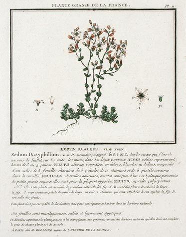 L Orpin Glanque For U Plante Grasse De La France U Hand