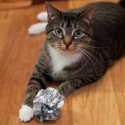 Giant Mylar Ball Cat Toy Boots Barkley Silver Russian Blue Cat Cat Toys Cats