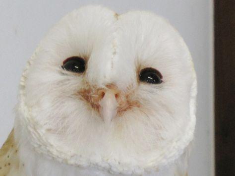 神戸花鳥園 ブログ 鳥知恵 メンフクロウ 可愛い 生き物 動物
