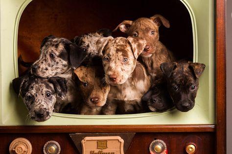 Puppies I Want Them All Catahoula Leopard Dog Louisiana
