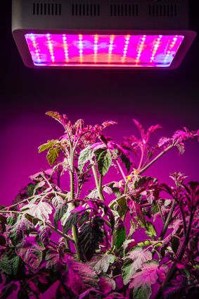Tomatoes Under Led Grow Lamp Growing Plants Indoors