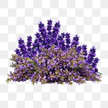 Lavender Painted Watercolor Plant Png Transparent Clipart Image And Psd File For Free Download In 2020 Flower Clipart Plant Background Lavender Flowers