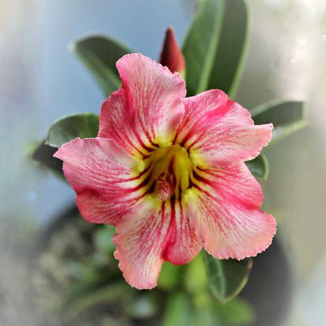 Adenium (complex arabicum) x crispum x obesum - 6 inch pot