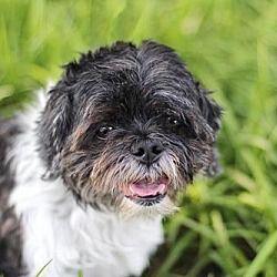 Hagerstown Md Shih Tzu Meet Doodah A Dog For Adoption Shih