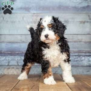 Mini Bernedoodle Puppies For Sale Greenfield Puppies Bernedoodle Bernedoodle Puppy Mini Bernedoodle